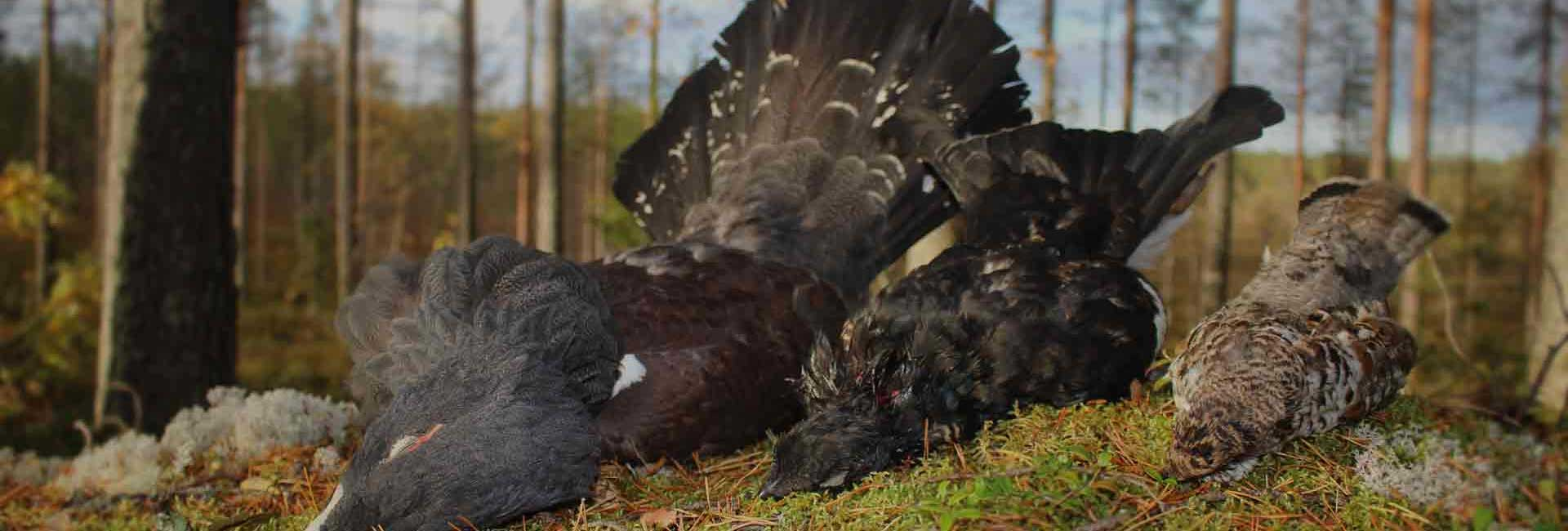 Capercaillie and grouse hunt